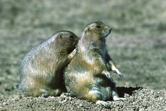 Two prairie dogs sitting near a burrow in Wind Cave National Park.