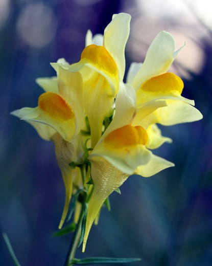 Photography of wildflower: Butter-and-Eggs - Linaria vulgaris