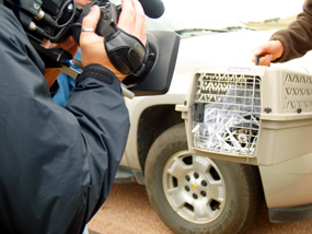 Travel Channel Filming Black-Footed Ferret in Cage Before Release Into Park