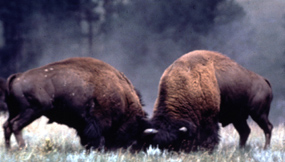 Bison Bulls Fighting During the Rut