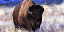 American bison on the Wind Cave National Park prairie