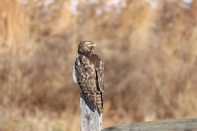 A juvenile red shouldered hawk perches atop a fence post.