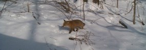 Red fox walking in the snow at the park.