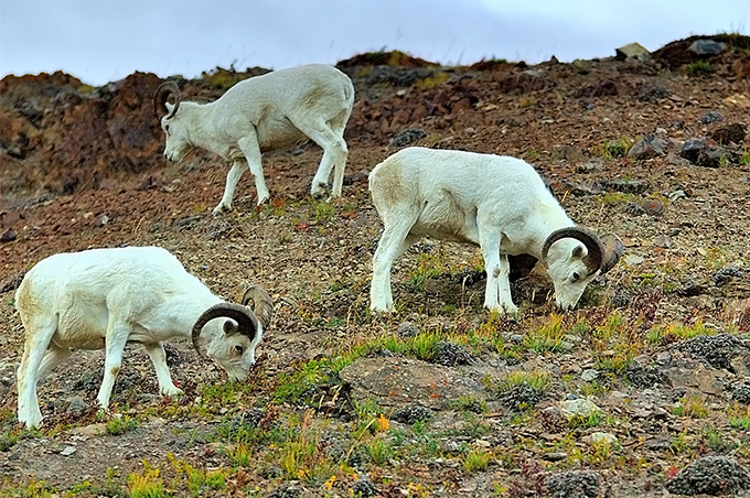 Group of Dall Sheep eating grasses in the tundra