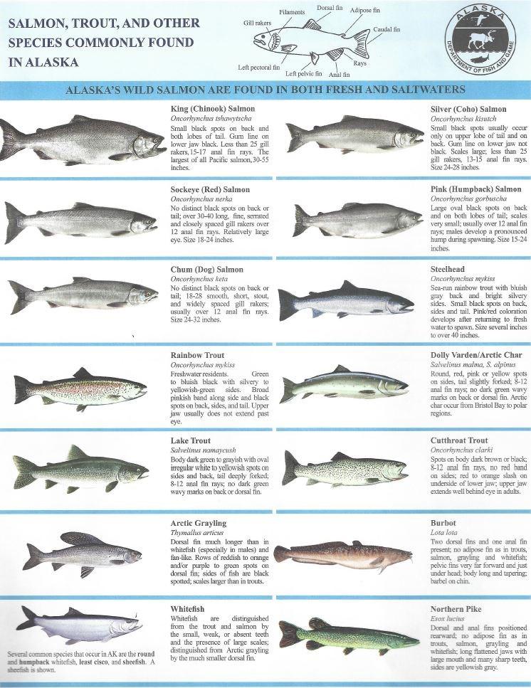 Fish Wrangell St Elias National Park Preserve U S National Park Service