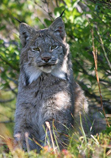 Lynx near Jumbo Mine Trail in Kennecott Mines National Historic Landmark