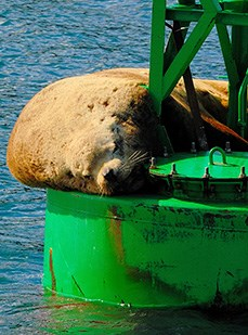 Steller Sea Lion lying on a buoy that is floating in the ocean