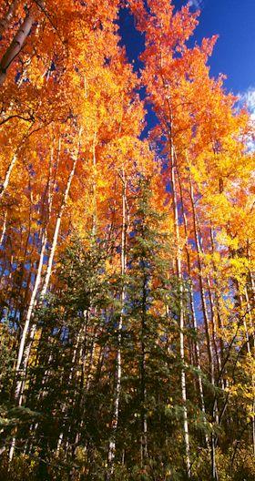 Common Trees Wrangell St Elias National Park