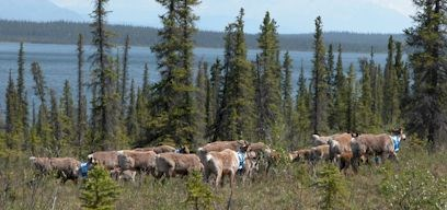 Caribou with radio collars