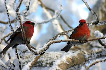 Pine grosbeaks add color to winter days