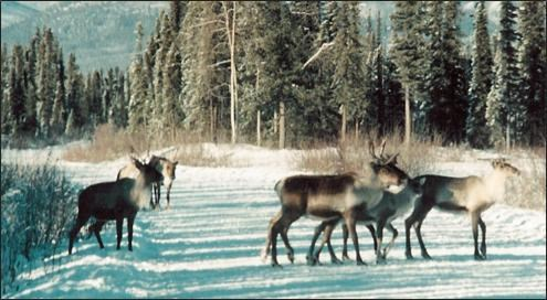 Caribou on Nabesna Rd