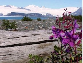 Icy Bay and Dwarf Fireweed