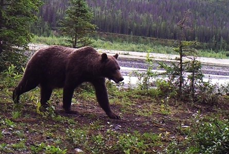 Grizzly on Nugget Creek