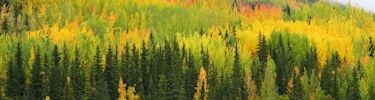 Boreal Forest in Fall