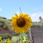 Sunflower blooming in the Wupatki garden