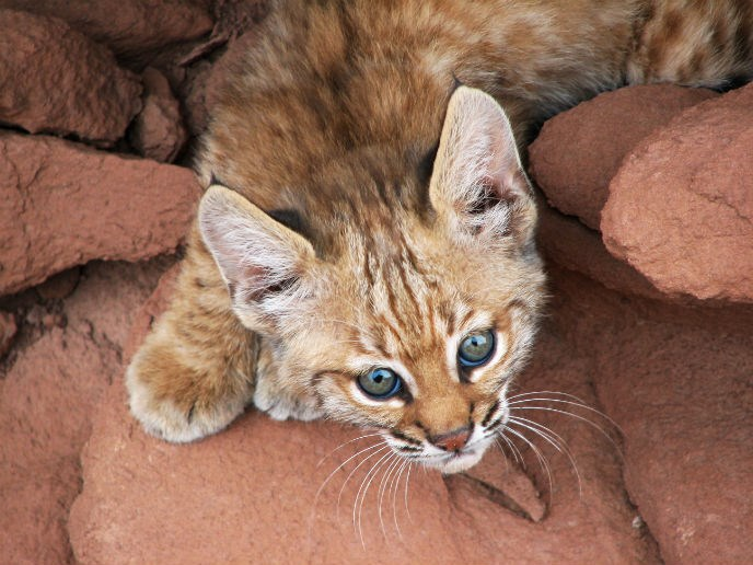 Close-up of bobcat kitten