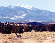Photo of pronghorn, with San Francisco Peaks in background