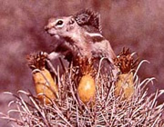 Whitetail antelope ground squirrel