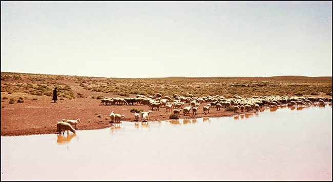 a woman watches over a flock of sheep grazing and drinking from a river in the desert