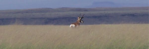 Pronghorn on the grasslands