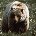 An adult grizzly bear walks through a meadow of white flowers.