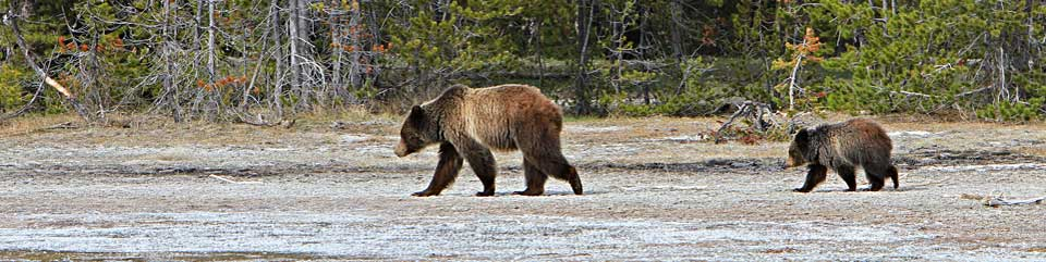 Sow grizzly bear with cub trailing behind her.