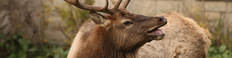 A bull elk bugles in Yellowstone National Park