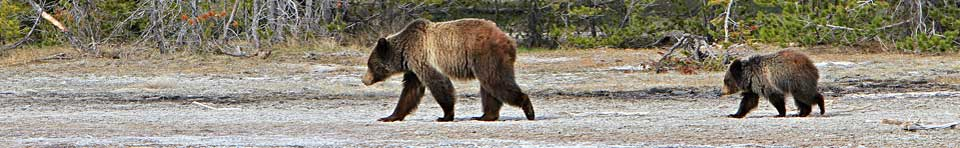 Sow grizzly with cub trailing her.