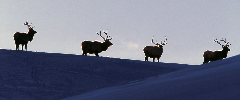 Four elk with antlers on top of a snow covered ridge