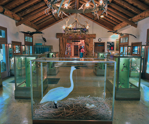 A taxidermied trumpeter swan encased in glass in a lobby with displays
