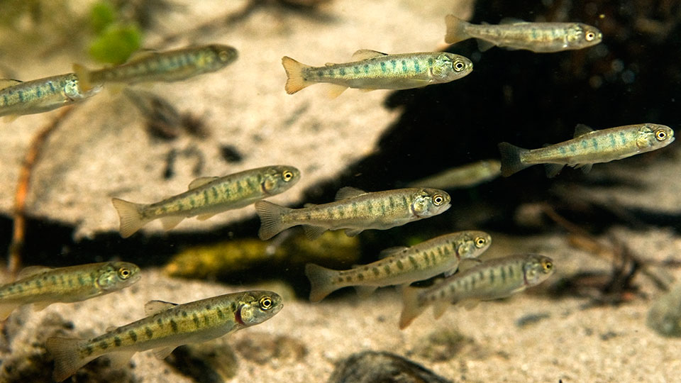 Young cutthroat trout swimming in shallow water