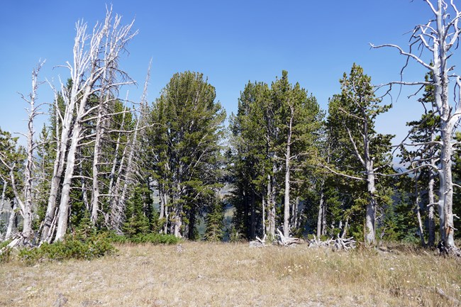 A grove of whitebark pine trees.