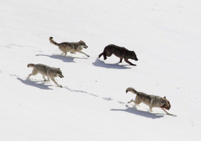 Winter wolves on the move.