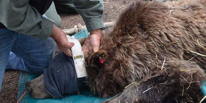 Figure 1. A Study Team researcher fits a GPS radio collar on a female grizzly bear, Yellowstone National Park, 2013. A nasal catheter is used to provide supplemental oxygen to the bear during anesthesia. Straw is provided inside the bear trap to keep bear