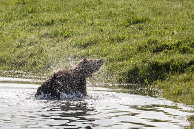 A grizzly bear cooling of in a small pond.
