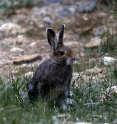 A snowshoe hare sits in the middle of sparse grass.