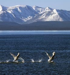 Two large white birds extend their wings while on a large, placid lake with snow-covered mountains in the background.