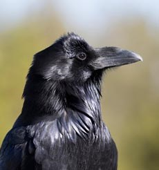 The black feathers of a raven glisten in sunlight