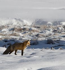 A ref fox cocks its head while looking at snow