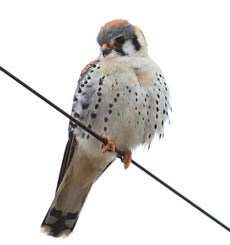 A bird, with slightly puffed feathers, sits on a wire.