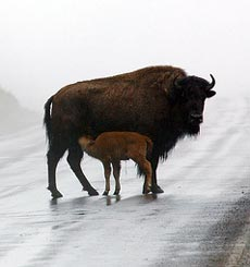 A small calf nurses its mother while standing in a road in fog
