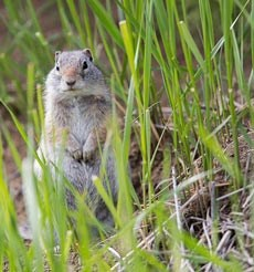 A squirrel sits on its hind legs and peeks through short green grass at the camera.