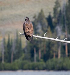 An immature bald eagle sits on a branch over a body of water