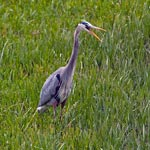 A grey bird with a long neck stands in marshy grass