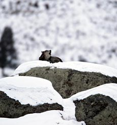 A grey wolf howls on a large boulder covered by snow.