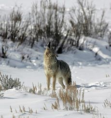 A coyote howls