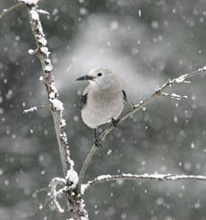 A light grey bird sits on a twig as snow falls.