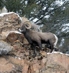 A bighorn sheep ram stands on a rocky outcrop among juniper