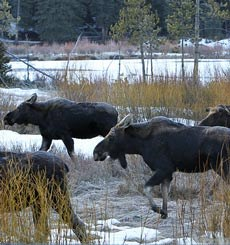 Four anter-less bull moose walk through grass
