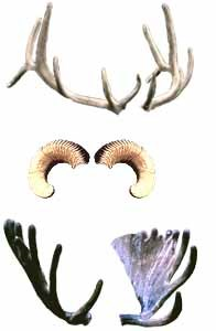 difference between antlers and horns yellowstone national park
